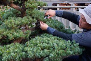 庭木の剪定をしている写真